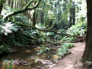 Red Woods - Beech Forest